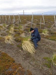 Jim McAdam Measuring Tussac on Tierra del Fuego